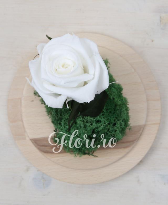 1 trandafir alb criogenat alaturi de muschi decorativ criogenat, cupolă și suport de lemn