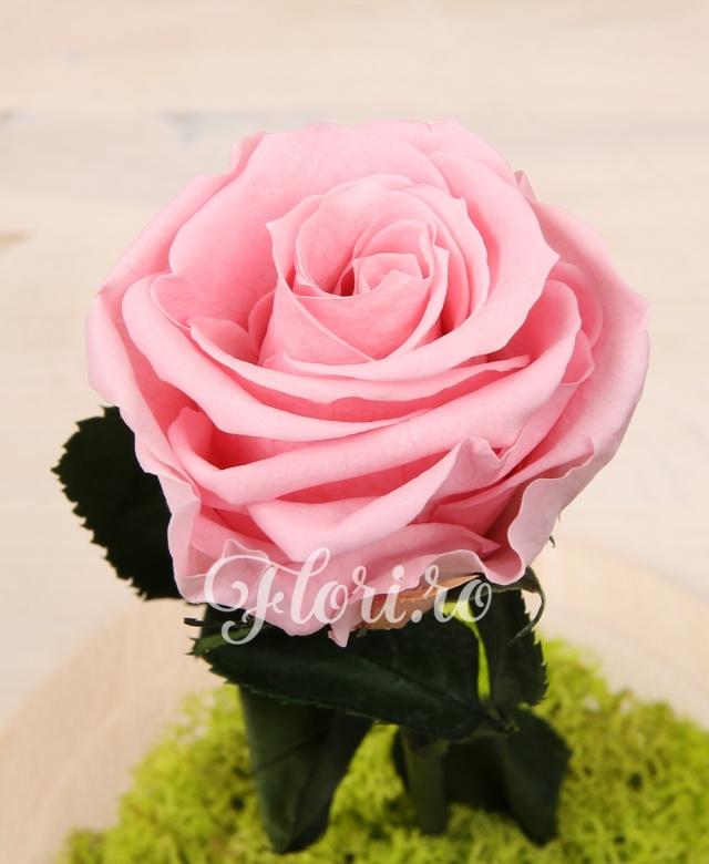 1 trandafir roz criogenat